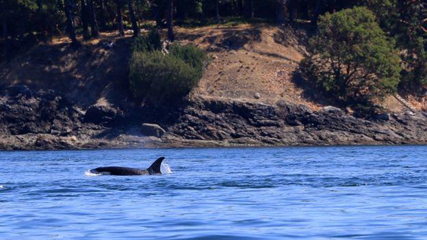 Una orca hembra lidera el camino mientras la sigue su manada