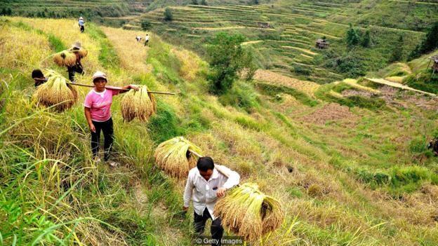 So với những loại cây trồng khác, trồng lúa gạo đòi hỏi sự hợp tác lớn hơn trong phạm vi một cộng đồng do hệ thống tưới là phức tạp và qua nhiều cánh đồng.