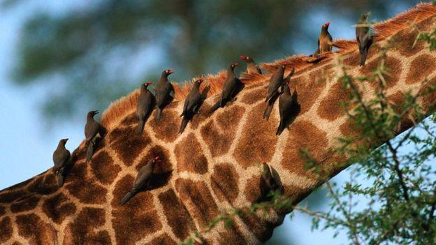Красноклювые буйволовые скворцы на жирафе