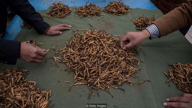 Những con sâu khô có thể được bán tới 20.000 USD một cân