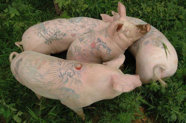Cerdos con tatuajes