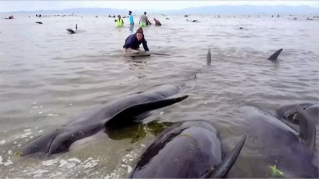 People stand next to stranded pilot whales seen in the water on the beach in Golden Bay, New Zealand after one of the country's largest recorded mass whale strandings on Friday, in this still frame taken from video released 10 February 2017.