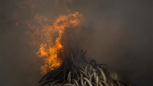 Burning elephant tusk in Nairobi, Kenya - Saturday 30 April 2016