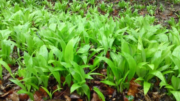 http://ichef-1.bbci.co.uk/news/624/cpsprodpb/3728/production/_94002141_wildgarlic.jpg