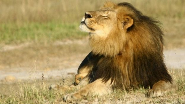Cecil the lion is seen at Hwange National Park