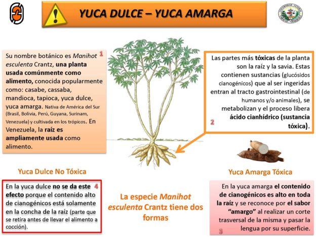 Campaña de SIMET UCV para informar al colectivo sobre la diferencia entre yuca dulce y yuca amarga.