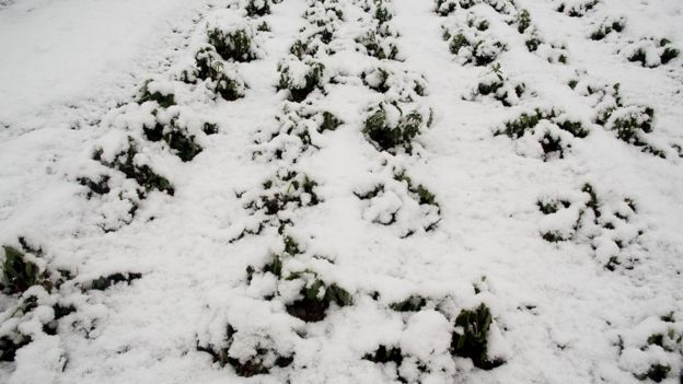 Snow covered crops in Murcia, Spain