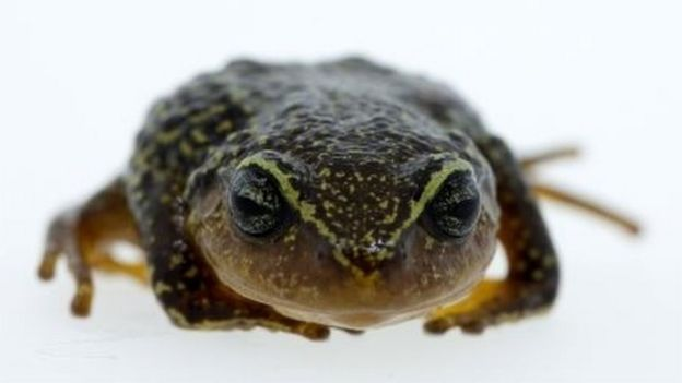 Handout pictured released in Bogota by the Humboldt Institute of a Pristimantis macrummendozai frog. A terrestrial frog with yellow eyebrows that lives in Colombia