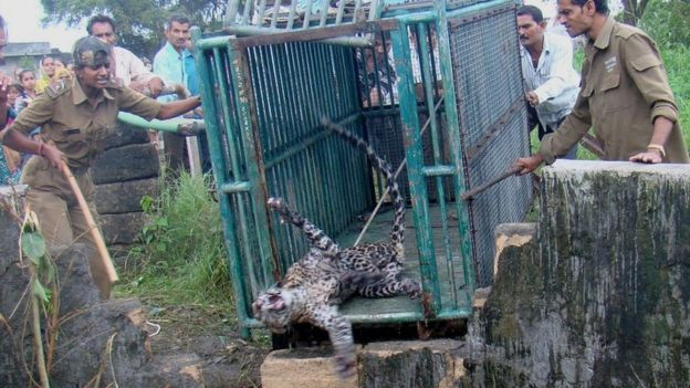 Rasila Vadher rescues a leopard from a well