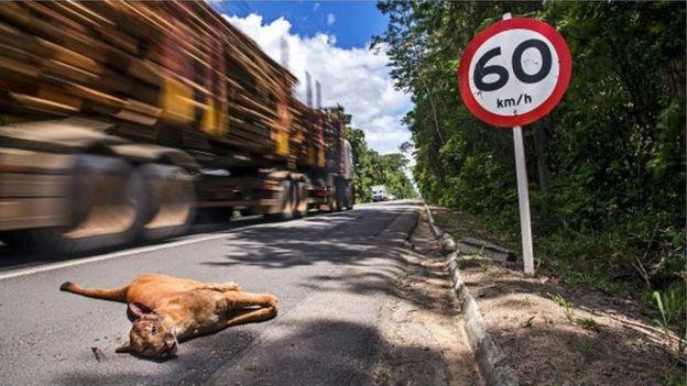 Onça-parda morte em beira de estrada
