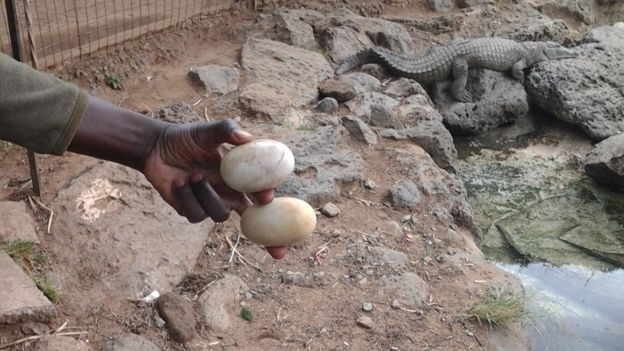 A worker holding crocodile eggs