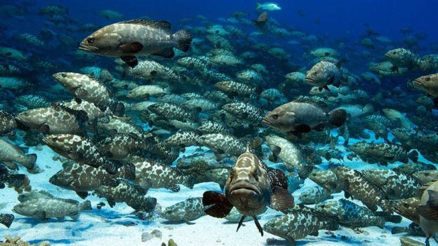 a dense school of grouper fish