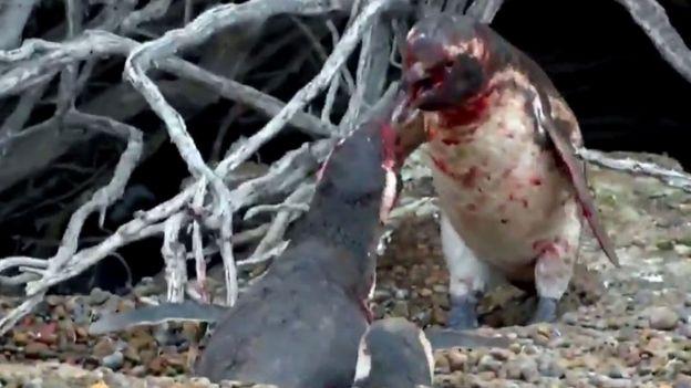 Pinguino ensangrentado