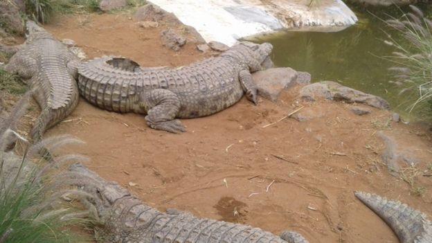 Crocodiles at the farm