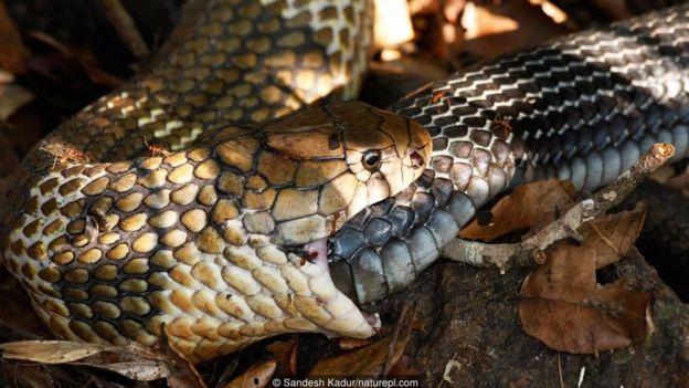 Chú rắn hổ mang chúa này (Ophiophagus hannah) đang ăn thịt một con rắn cái, nhưng liệu một con rắn có tự ăn đuôi của mình không?