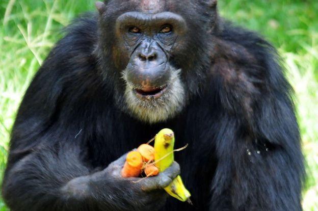 Un chimpancé con unas frutas