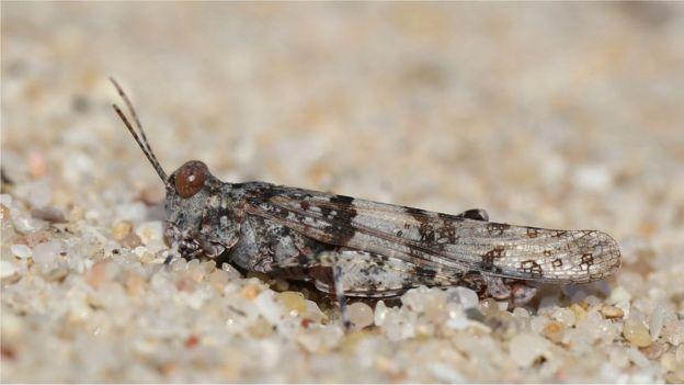 Knotty sand grasshopper