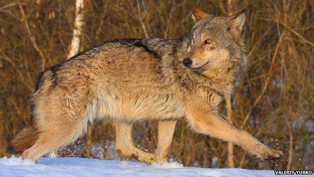 Wolf in Chernobyl exclusion zone (c) Valeriy Yurko