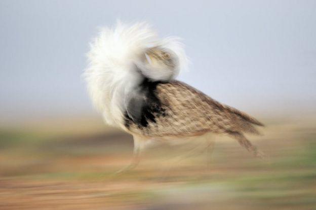 Canarian Houbarabustard