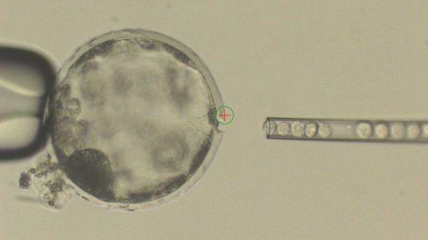 Científicos inyectando células madre humanas en un embrión de cerdo.