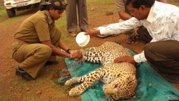 Rasila treating an injured leopard