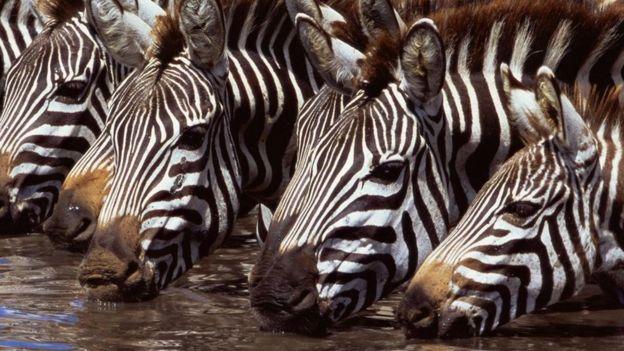 Zebras bebendo água
