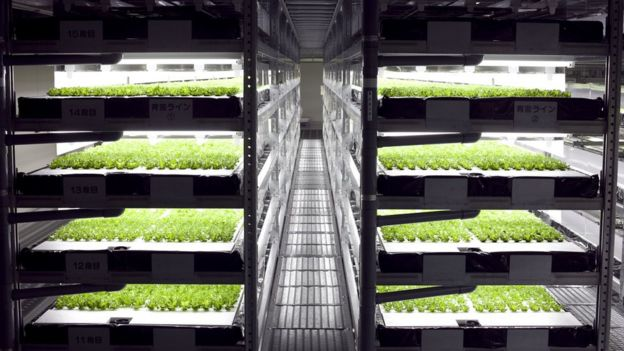 Young lettuces under LED lights on racks