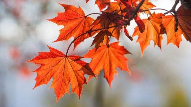 Hojas de arce de color rojo en otoño