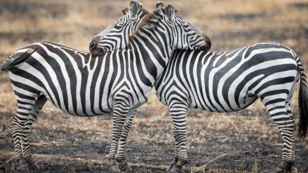 Una pareja de cebras