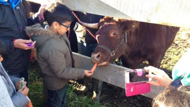 Cow being given a carrot in Groby