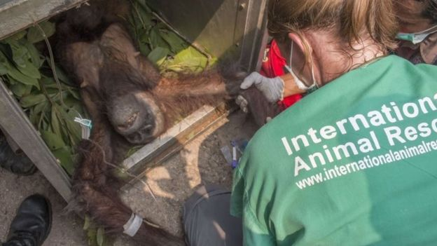 International Animal Rescue staff rescue a malnourished orangutan in the village of Kuala Satong in West Kalimantan province (14 October 2015)
