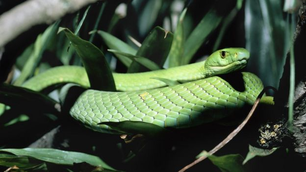 An easter green mamba, found in the forests of eastern Africa