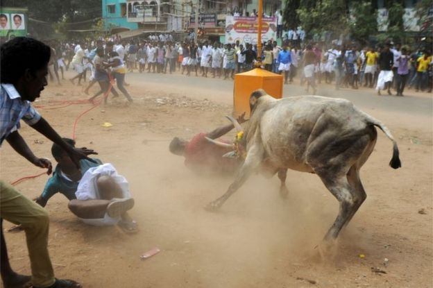 A bull charges through a crow of Indian participants and bystanders during Jallikattu, an annual bull fighting ritual, on the outskirts of Madurai on January 15, 2017