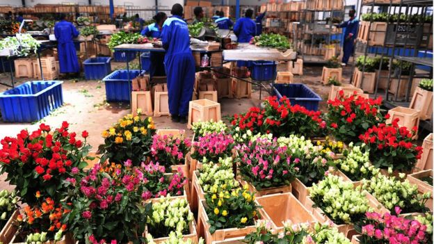 Kenyan roses awaiting export to Europe by plane
