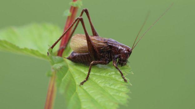 Adriatic marbled bush cricket