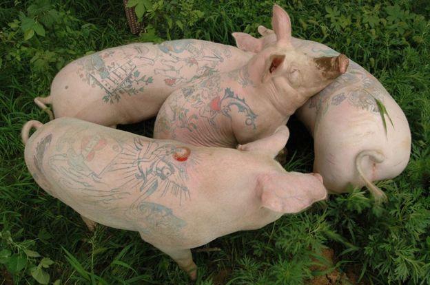 Tattooed pigs