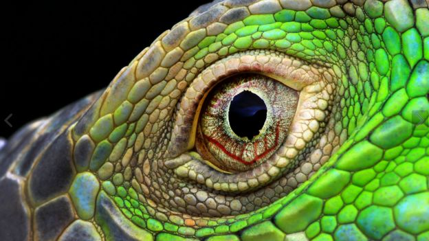 Muhammad Roem超近距離拍攝一隻鬛蜥的眼睛