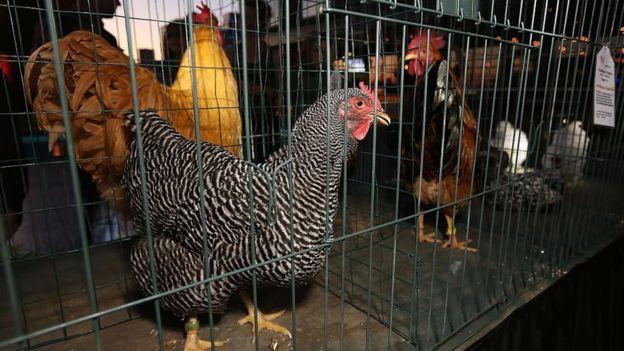 Pollos en unas jaulas