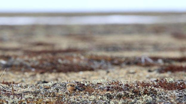 самка исландского песочника (Calidris canutus rogersi)