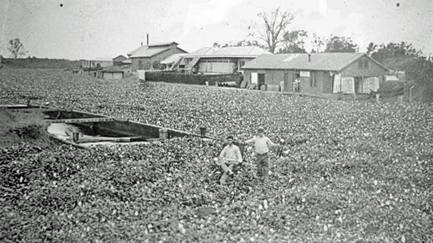 cotton fields