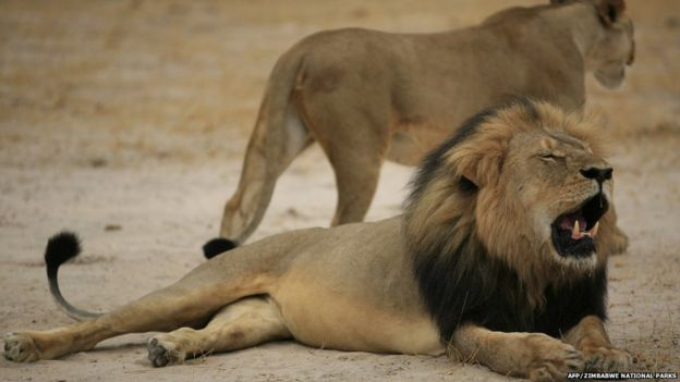 Cecil the lion in a handout picture taken on 21 October 2012