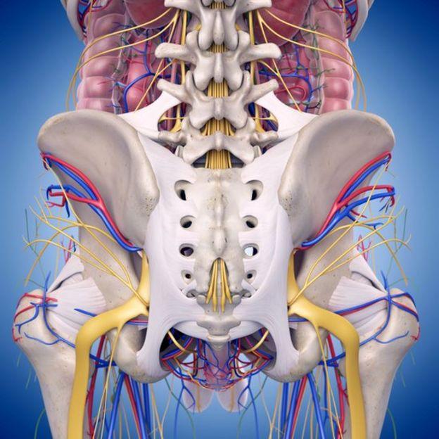 Nervios genitales.