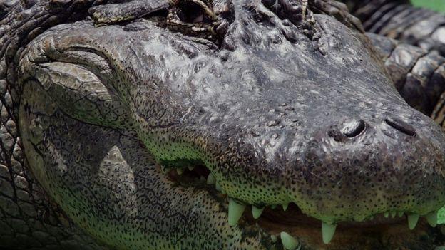 Desde 1948 han muerto 22 personas por ataques de caimán en Florida, informan las autoridades.