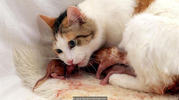 doğum yapan kedi