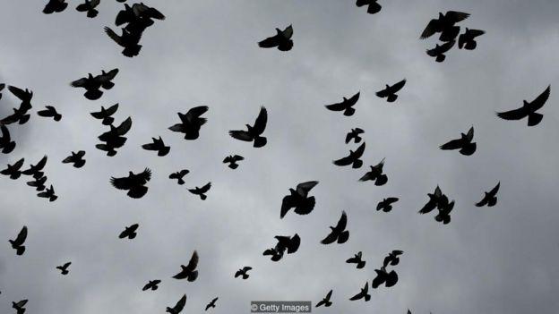 Năm 2016, một tốp chim bồ câu được chọn lọc ở London đã mang theo các thiết bị cảm biến trong 'ba lô' nhỏ xíu.