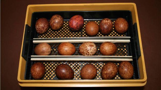 Ovos de falcão peregrino
