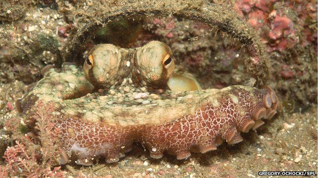 Help for Biology Term Paper on octopus camouflage?