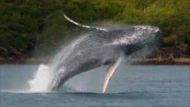 The whale takes a leap