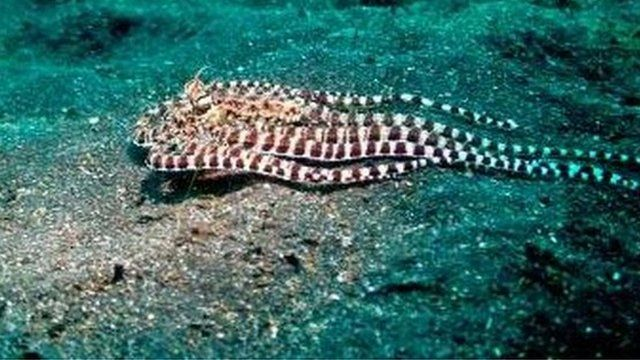 The Indonesian mimic octopus