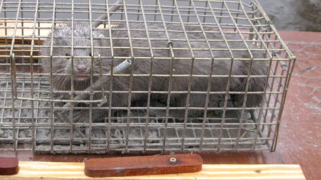 American mink in cage